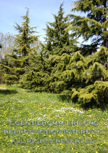 Grands cedrus et petites pâquerettes - The large cedrus and the small daisies
